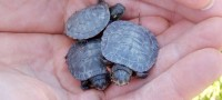 Painted Turtle Hatchlings