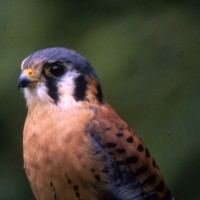 Am Kestrel bird