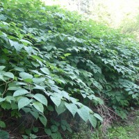 Japanese knotweed patch