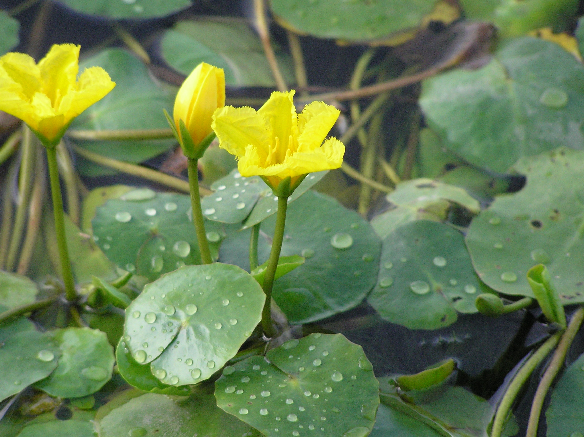 Yellow Floating Heart Nymphoides Peltata Credit Valley