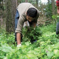 Pulling invasive plants in our watershed