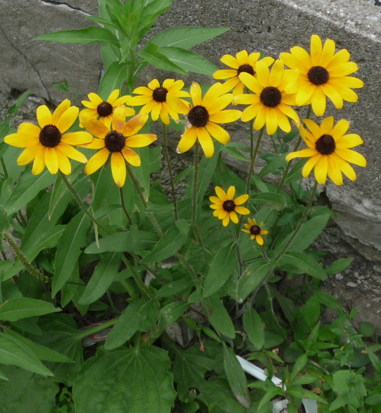 Prairie wildflower garden at jack darling memorial park Black eyed susans