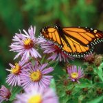 New England Aster with Monarch Butterfly