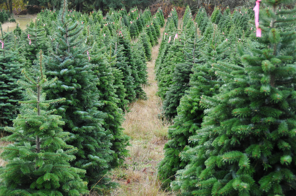 Christmas Forest.The Christmas Tree Dilemma Real Vs Fake Credit Valley