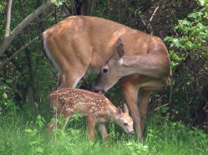 A mother Deer grooming the fur of her fawn. Photo credit: Jon Clayton