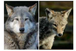 wolf and coyote comparison