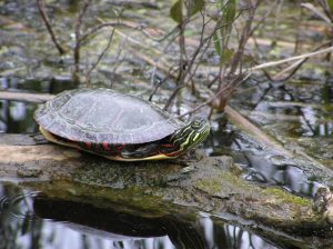 A painted turtle basking in the sun.