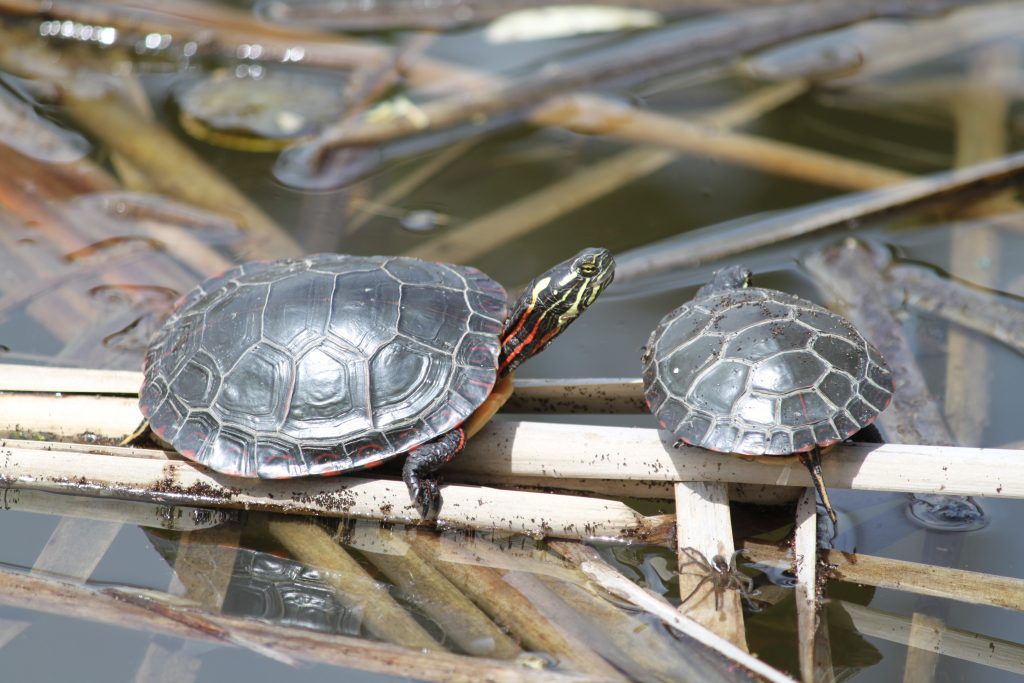 Five fast facts about painted turtles