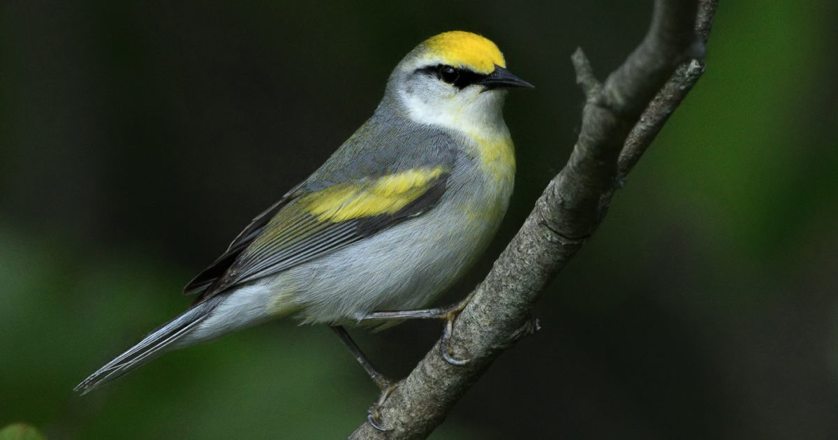 Brewster's Warbler perched on branch