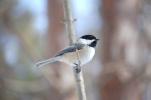 Black-capped Chickadee perched on branch - Photo courtesy of Patrick Ashley via Flickr Creative Commons