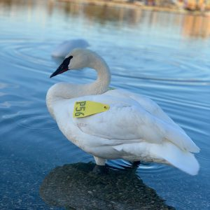Trumpeter Swans: A Treasure of the Credit