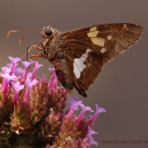 Where in the Watershed are the Silver-Spotted Skippers?