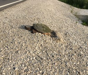 Female Snapping Turtle Nesting