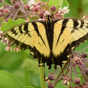 Butterfly Blitz – What's in Our Watershed?