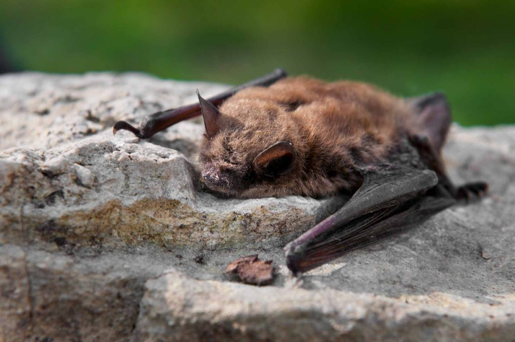 Not So Spooky Species – Bats