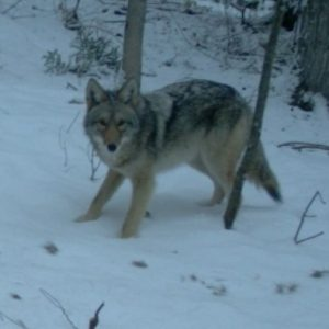 Living in Harmony with Coyotes