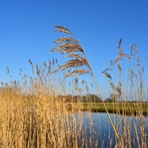 How to be a superhero in the fight against Phragmites