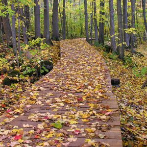 A boardwalk through the trees in fall with leaves all over.