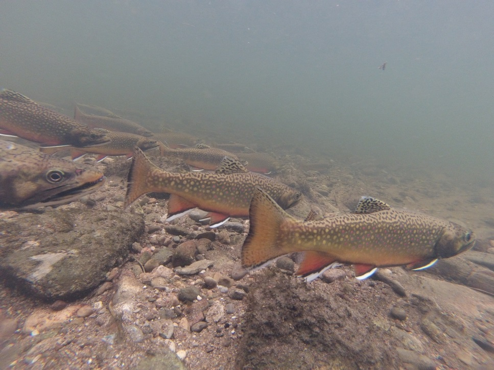 Group of brook trout under water