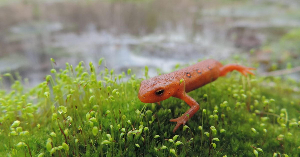 A red spotted newt on top of moss.