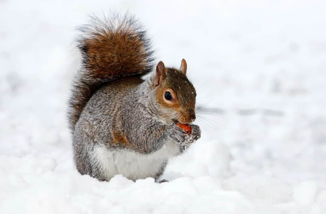 Squirrel eating nut in snow.