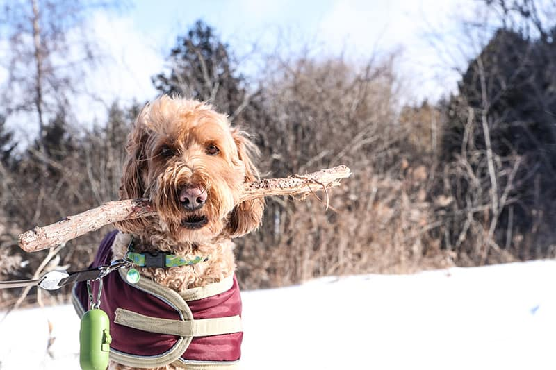 A dog carrying a stick in the winter.