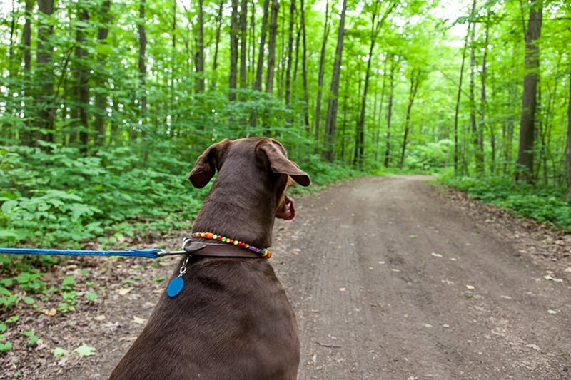 A dog on a leash looking forward along a trail at Terra Cotta.