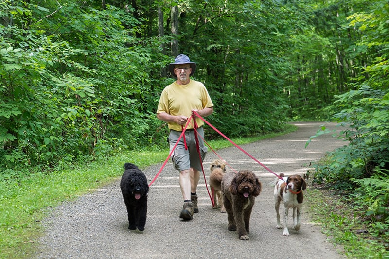 A man walking four dogs along a trail at Terra Cotta Conservation Area.
