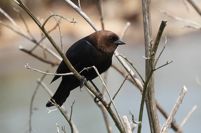 Brown-headed cowbird standing on a bare branch. Photo credit: Christina Kovacs.