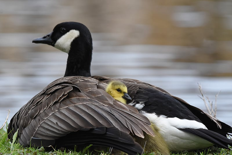Canada goose on the water, with a gosling on its back. Photo credit: Tim Kuntz.