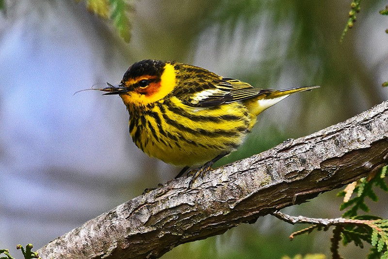 Cape may warbler on a branch. Photo credit: Tim Kuntz.