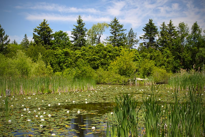 The wetland at Terra Cotta covered with lilies in the summer.
