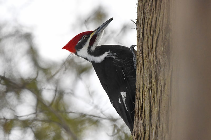 Pileated woodpecker on the side of a tree. Photo credit: Tim Kuntz.