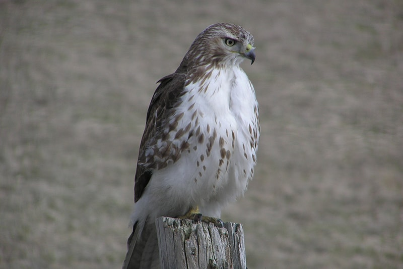Red-tailed hawk perched atop a fence post. Photo credit: Jon Clayton.