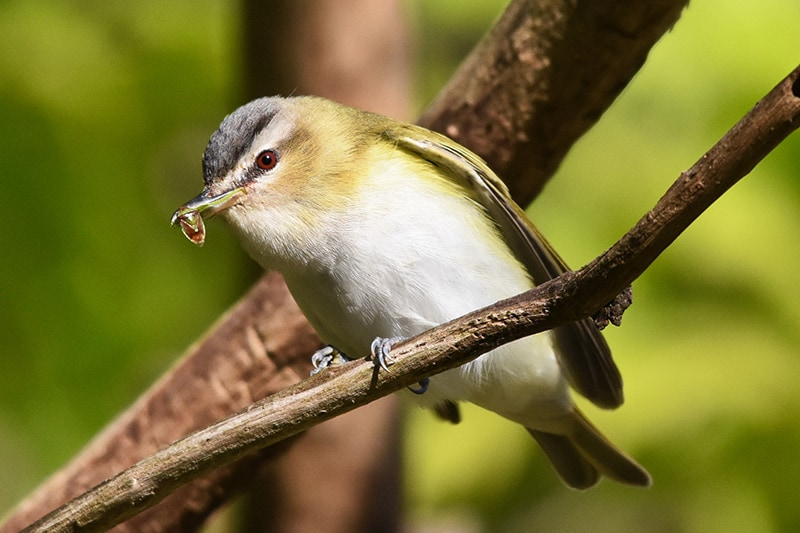 Red-eyed vireo perched on a branch, looking down. Photo credit: Tim Kuntz.