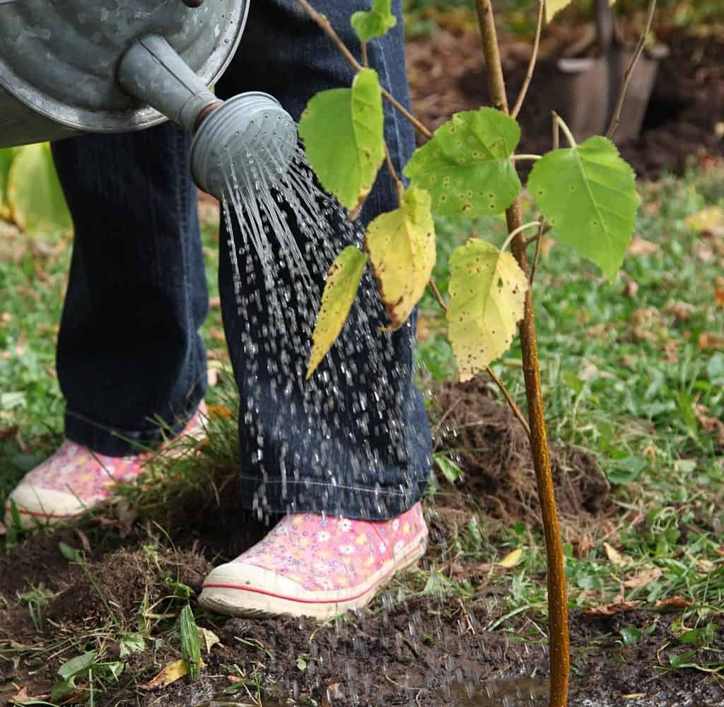 Person using watering can to water newly planted tree