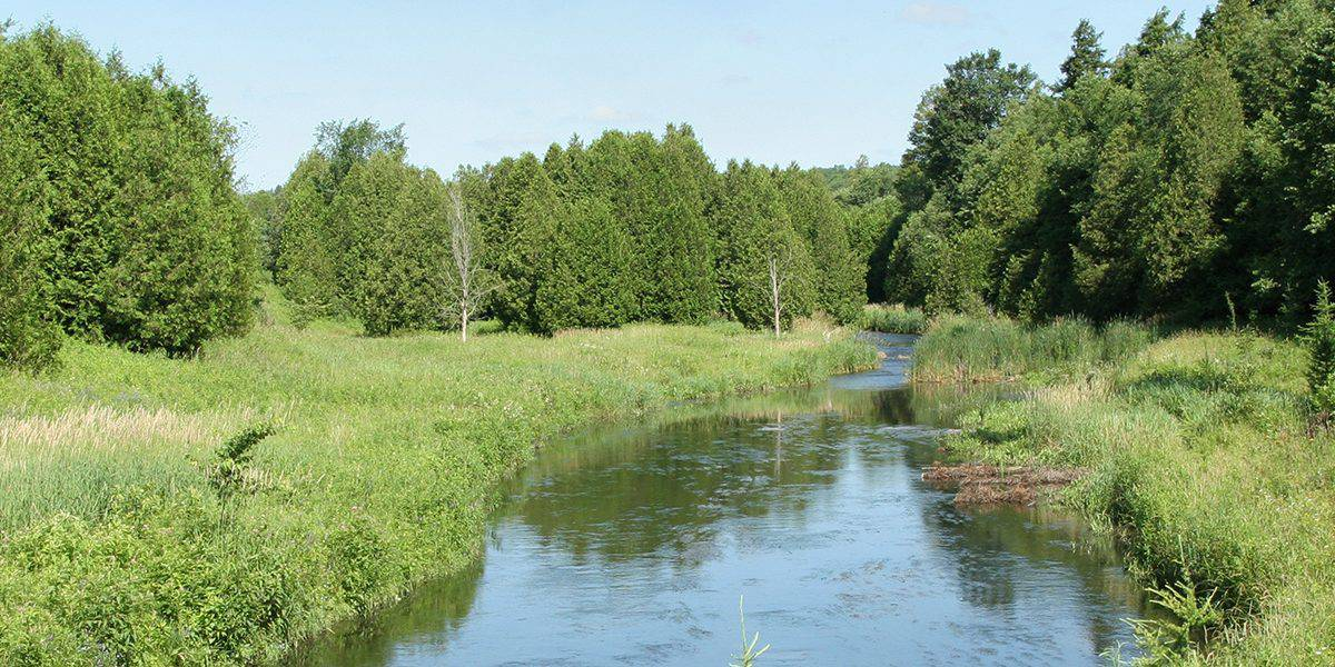 The Credit River in an area with tall grasses and big, full evergreen trees.