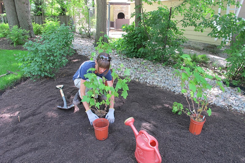 A person planting purple flowering raspberry shrubs in a residential garden.