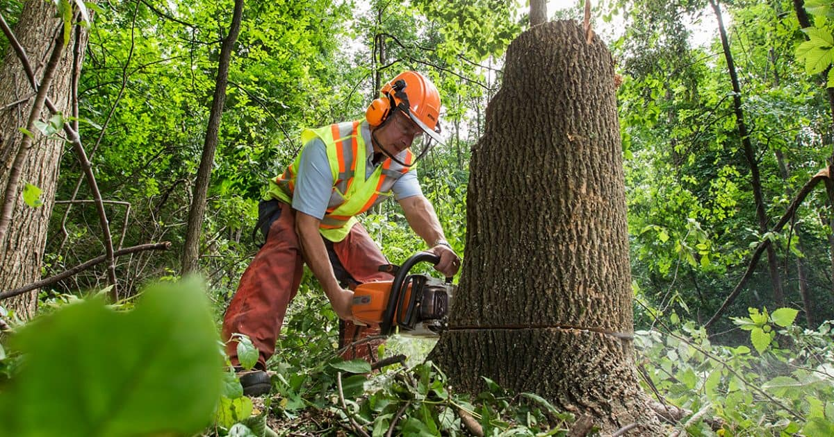Staff cutting down an infected ash tree at Rattray Marsh.