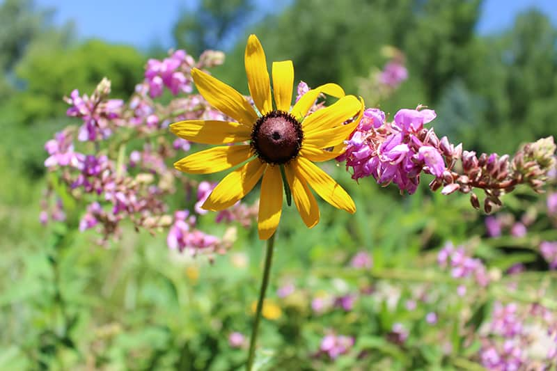 A black-eyed Susan flower and showy tick trefoil.