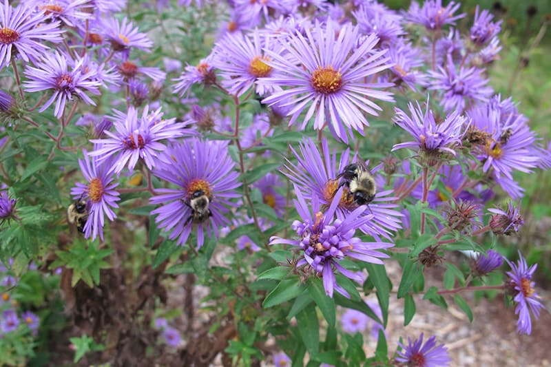 A bumblebee feeding on New England aster flowers.
