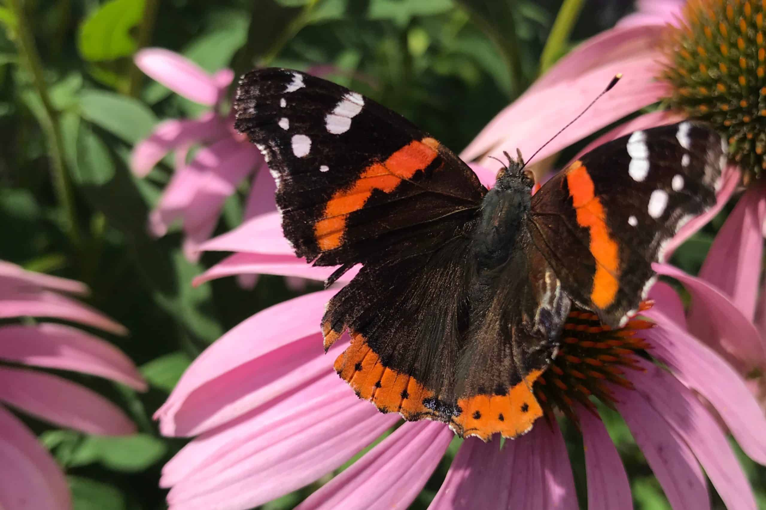 a butterfly resting on a pink coneflower