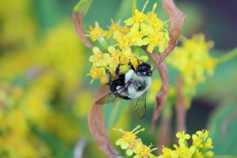 Common Eastern bumble bee on blue-stemmed goldenrod Photo credit: Patricia Griesser