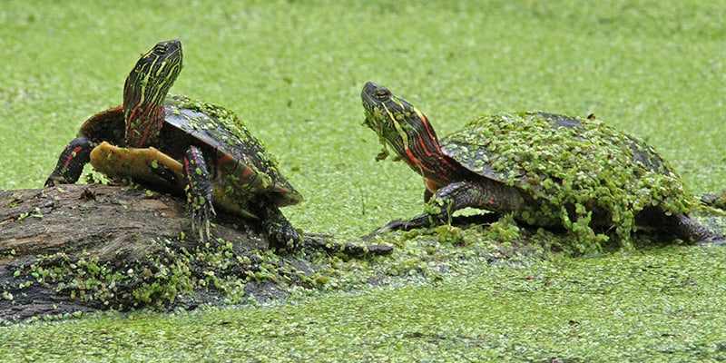 Two turtles standing on a log in a pond covered in algae.