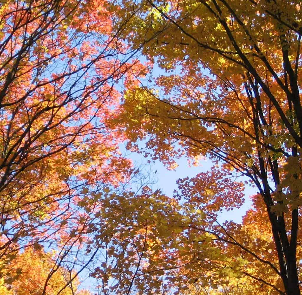Trees with yellow and orange leaves on a sunny day