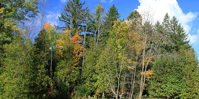 A forest with some leaves starting to change colour in the fall.