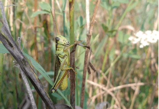Golly, Grasshoppers are Great!