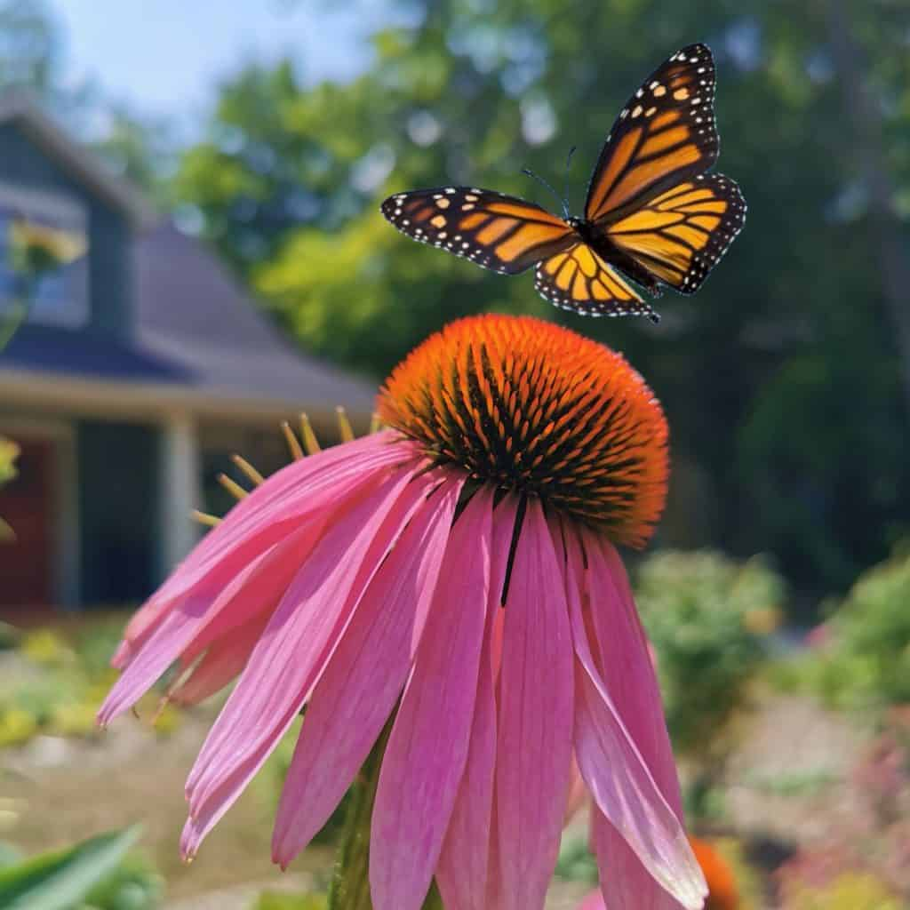 Monarch butterfly flying towards a cone flower