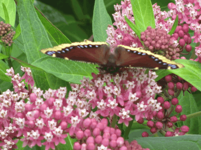 Mourning cloak butterfly on milkweed plant