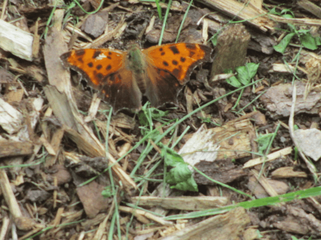 Eastern comma butterfly with swings open on the ground